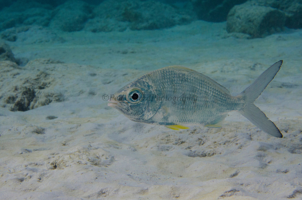 Yellowfin Mojarra (Gerres cinereus)<br /> BONAIRE, Netherlands Antilles, Caribbean<br /> HABITAT & DISTRIBUTION: Shallow bays, lagoons & estuaries below surf zone.<br /> Florida, Caribbean, Gulf of Mexico south to Brazil. Eastern Pacific from Mexico to Peru.