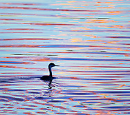 A western grebe swims through a colorful sunset reflection in Bosque del Apache National Wildlife Refuge