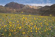 Desert Gold sunflower wildflowers Geraea Canescens record spring bloom below Black Mountains, Death Valley, California