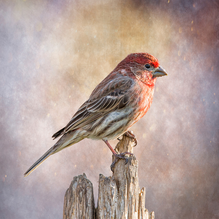 Male House Finch Posted On Top Of A Log