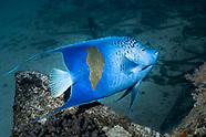 Yellow bar angelfish (Pomacanthus maculosus)