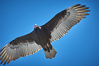 Turkey Vulture. Image taken with a Nikon D2xs camera and 80-400 mm VR lens (ISO 100, 400 mm, f/5.6, 1/500 sec).