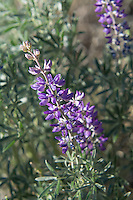 One of the great adaptations the silky lupine has evolved is to grow in places where the soil has a very low fertility. Its nitrogen-fixing ability not only allows it to grow in large colonies in the most arid of dry steppes, it actually improves soil quality allowing new species of plants to come in, take seed and grow.