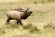 Bull Elk catching the scent of a female