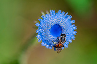 Bee, unknown species, sitting on a blue blooming thistle. Wuliangshan Nature Reserve, Mount Wuliang Nature Reserve in Jingdong county, Yunnan, China.