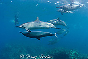 Hawaiian spinner dolphins or Gray's spinner dolphin<br /> Stenella longirostris longirostris, courtship<br /> female (upside-down) solicits male<br /> Kona, Hawaii ( Big Island ) Hawaiian Islands<br /> ( Central Pacific Ocean )