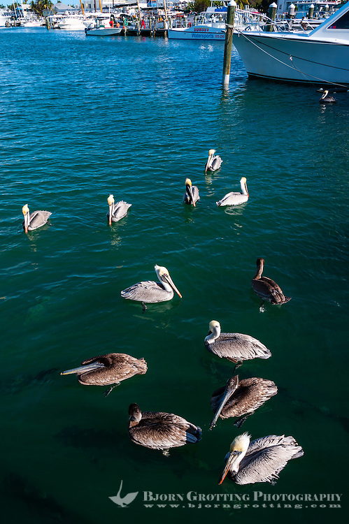 US, Florida, Key West. Brown Pelicans.