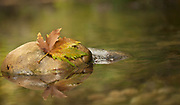 Fall coloured Platanus leaf on a rock in a brook