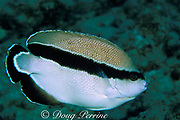 bandit angelfish, Holacanthus arcuatus,<br /> endemic to Hawaii, USA, aka Apolemichthys arcuatus or Desmoholacanthus arcuatus<br /> South Kona, Hawaii, USA ( Pacific )
