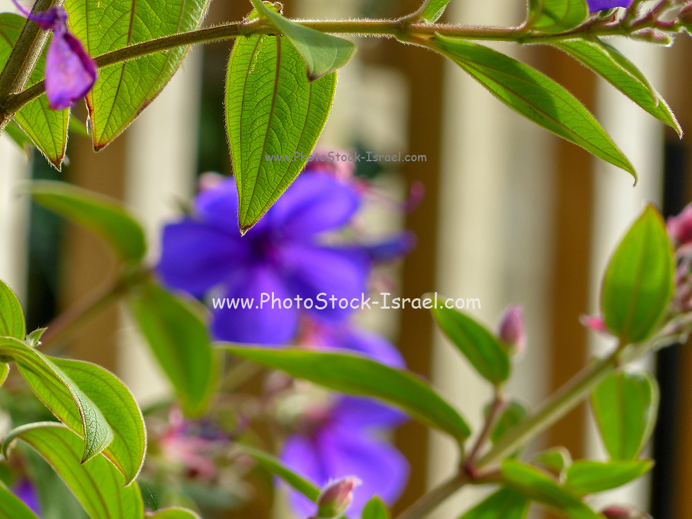 Tibouchina urvilleana is a species of flowering plant in the family Melastomataceae, native to Brazil. Growing to 3–6 m (10–20 ft) tall by 2–3 m (7–10 ft) wide, it is a sprawling evergreen shrub with longitudinally veined, dark green hairy leaves. Clusters of brilliant purple flowers up to 10 cm (4 in) in diameter, with black stamens, are borne throughout summer and autumn.<br /> Common names include: glory bush, lasiandra, princess flower, pleroma,purple glory tree. Photographed in New Zealand in February