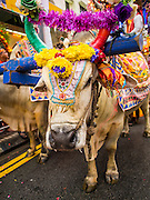 05 OCTOBER 2014 - GEORGE TOWN, PENANG, MALAYSIA:  An oxen that leads a procession honoring Durga in George Town during the Navratri procession. Navratri is a festival dedicated to the worship of the Hindu deity Durga, the most popular incarnation of Devi and one of the main forms of the Goddess Shakti in the Hindu pantheon. The word Navaratri means 'nine nights' in Sanskrit, nava meaning nine and ratri meaning nights. During these nine nights and ten days, nine forms of Shakti/Devi are worshiped.   PHOTO BY JACK KURTZ