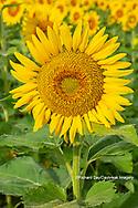 63801-11217 Sunflower in field Jasper Co.  IL