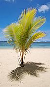 Small palm tree on a tropical beach on Upolu, Western Samoa.