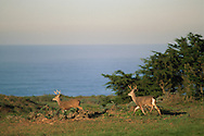 Two mule deer bucks run across green grass field next to ocean, Point Reyes National Seashore, Marin, California