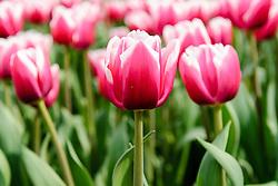 Tulpen lila, Tulipa spec, violet tulips, Holland, Netherlands