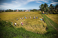 A group of vietnamese farmer harverst rice in a field of Khanh Hoa province, Vietnam, Asia. Most of workers are females and wear conical hats.