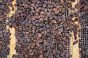 Horizontal image of drying Zibibbo grapes. These grapes have been drying for nearly a week in a well-ventilated tunnel-like building called a stenditoio on the island of Pantelleria.
