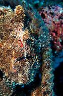 Frogfish, Carthaginian, Maui Hawaii