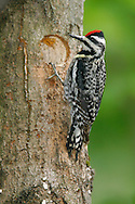 Yellow-bellied Sapsucker - Sphyrapicus varius - Adult female