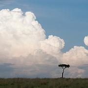 Acacia tree and large cumulus storm clouds rising above the Serengeti plains. Masai Mara National Reserve, Kenya, Africa