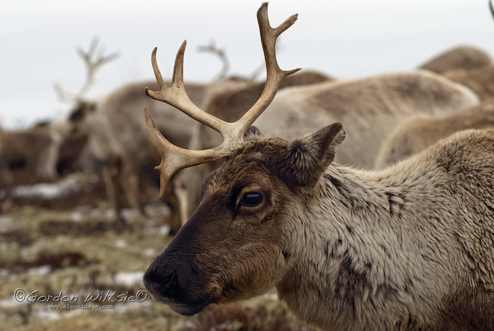 North of the Arctic Circle in Russia, a domesticated reindeer grazes in the tundra.  This animal has recently dropped one antler and the next will fall shortly - an annual occurence.