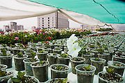Flowers grow from plastic cups in the expansive roof garden of the government building of SEDUVI (Secretaria de Desarollo Urbano y Viviendo), or Secretary of Urban Living and Development in Mexico City, Mexico on June 18, 2008. The seven year old hydroponic installation, the first of its kind in Mexico, is responsible for most of the flowers used in Mexico City's expansive parks. All employees in the building are free to work one hour a day on the roof garden.
