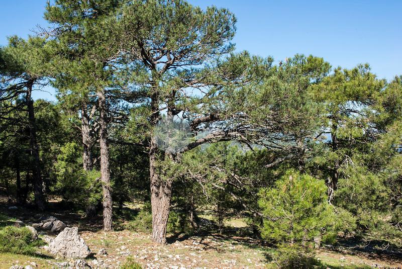 Bosque de pinos. Parque Natural de los Calares del Mundo y de la Sima. Sierra del Segura. Albacete ©ANTONIO REAL HURTADO / PILAR REVILLA