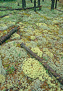 Assortement of terrestrial lichens on the forest floor of the boreal forest. Jacl pine stand. <br />Leaf Rapids<br />Manitoba<br />Canada