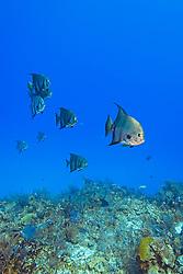 Atlantic Spadefish, Chaetodipterus faber, West End, Grand Bahama, Bahamas, Caribbean, Atlantic Ocean