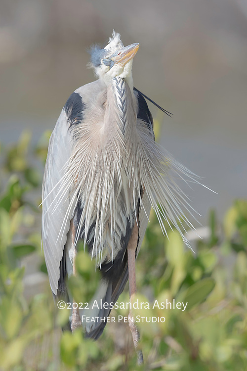 Great blue heron, Ardea herodias, in breeding plumage naps upright in afternoon sunshine at Little Estero Critical Wildlife Area, Fort Myers Beach, FL.