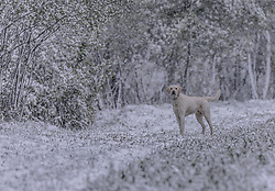 THEMENBILD - ein Hund (Golden Retriever) auf einem Feldweg im Schneegestöber, aufgenommen am 05. Mai 2019, Kaprun, Österreich // a dog (Golden Retriever) on a field path in the snow flurry on 2019/05/05, Kaprun, Austria. EXPA Pictures © 2019, PhotoCredit: EXPA/ Stefanie Oberhauser