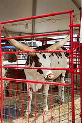 01 August 2014:   McLean County Fair.  Anikole cow