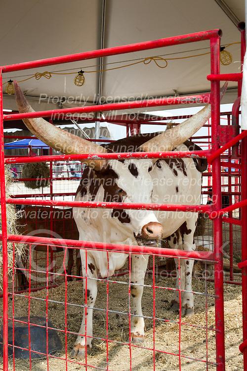 01 August 2014:   McLean County Fair.  Anikole cow