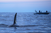 Ecotourists/Whalewatching visitors meeting Orcas, or Killer whales, Orcinus orca, Senja, Troms county, Norway, Scandinavia