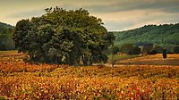 """In the wine producing regions in the South of France where the land is covered in grape vines, Fall is a special time of year.  Early Autumn brings the """"vindage"""" or grape harvest and long days of very hard work await the villagers.  A few weeks later, as the weather cools, the leaves on the vines begin to change and long days of exploration await the landscape photographer."""