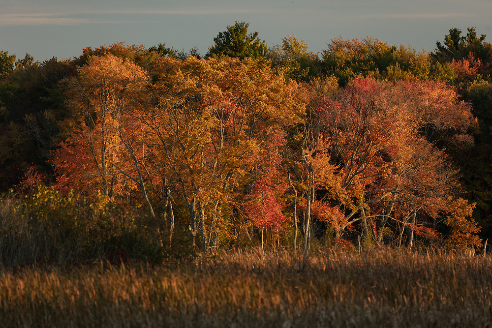 Autumn foliage glowing along the outskirts of a meadow in Minuteman National Park.