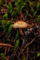 This beautiful and inconspicuous small brown mushroom was found in a very wet morning on Mount Rainier.