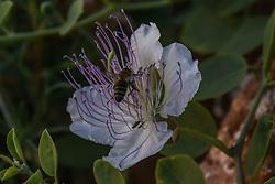 June 26, 2017 - Artaki - Bees collecting nectar in Artaki on June 26, 2017  (Credit Image: © Wassilios Aswestopoulos/NurPhoto via ZUMA Press)