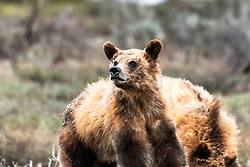 Bright eyed Grizzly cub, this year old cub seems happy to be free of the winter den.