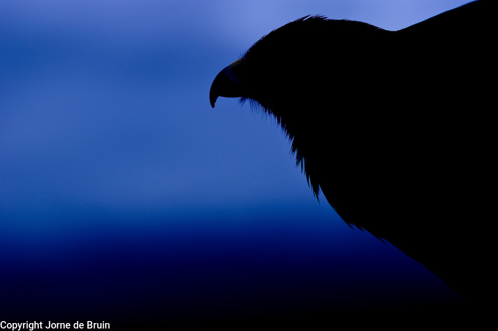 A sillhouette portrait of a golden eagle against a night blue sky in the Cairngorms National Park in Scotland