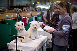 © London News Pictures. 07/03/2013. Birmingham, UK. West highland white terriers being prepared for show on  day one of Crufts at the Birmingham NEC Arena on March, 07, 2013 in Birmingham, England.  Crufts, which is the largest annual dog show in the world, hosts over 20,000 dogs and owners who compete in a variety of categories. Photo credit : Ben Cawthra/LNP