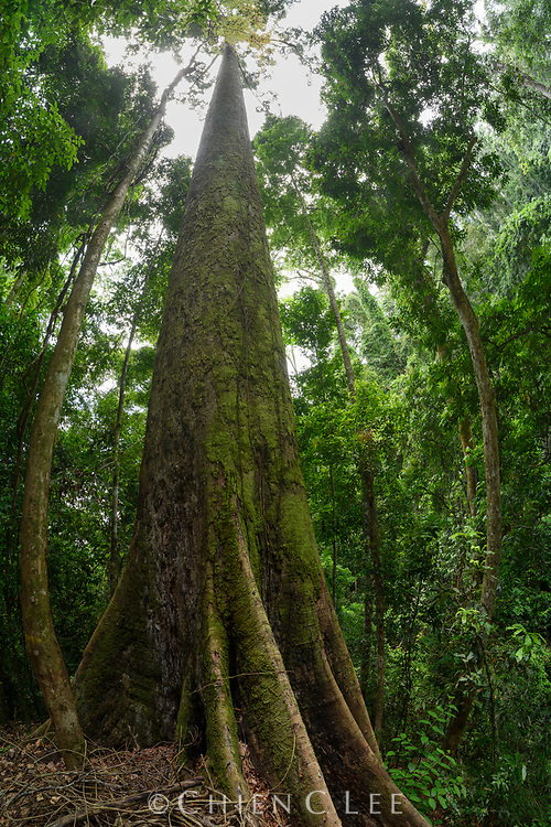 This Yellow Meranti (Shorea faguetiana) is the tallest tropical tree yet known, measured at 100.8m in height. Danum Valley, Sabah, Malaysia (Borneo).