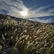 Vackra grässtrån på södra Gotland vid Hoburgen.<br /> PHOTO © Bernt Lindgren