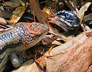 A Blue-tongued skink mother gives birth to live young at Bonorong Wildlife Park, Briggs Road, Brighton, Tasmania, Australia. Its large blue tongue can startle or warn potential enemies. Blue-tongued skinks (or blue-tongued lizards, Tiliqua genus, Scincidae family) are found in Australia, New Guinea, and Indonesia. The only species of blue-tongue native to Tasmania is Tiliqua nigrolutea. Most blue-tongue skinks are diurnal ground-foraging omnivores, feeding on a wide variety of insects, gastropods, flowers, fruits, and berries.