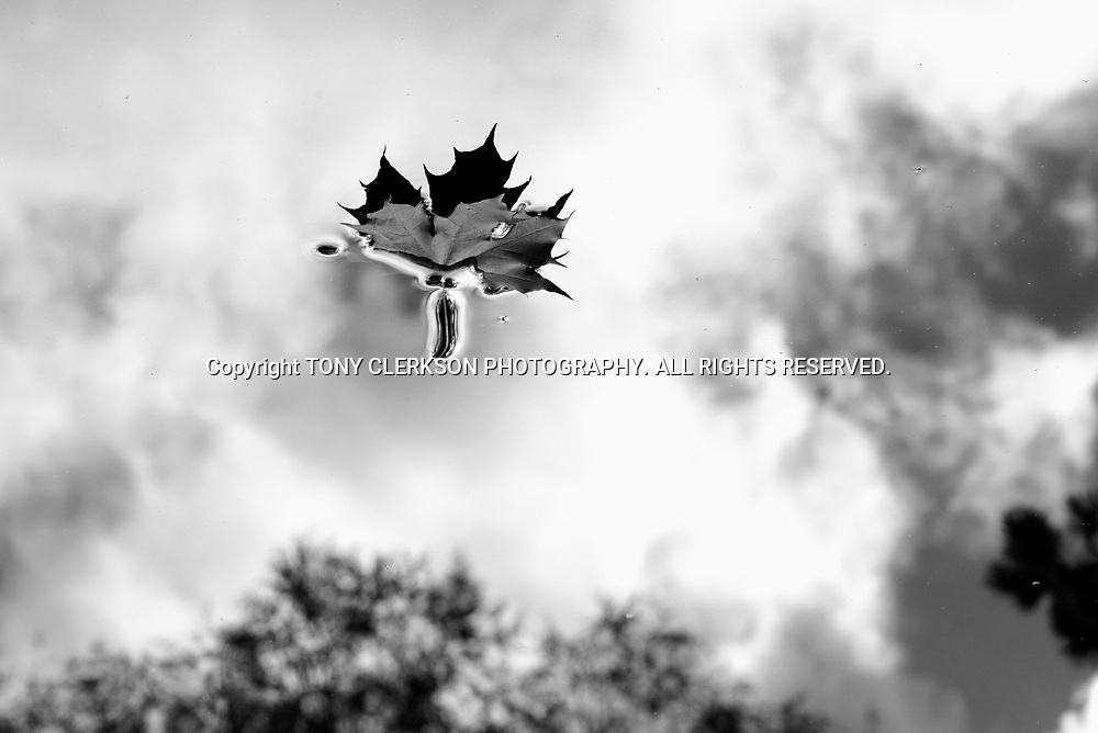 A leaf floats in the duck pond in Pollok Park