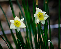 Fancy Daffodil flowers.  Image taken with a Fuji X-H1 camera and 200 mm f/2 lens + 1.4x teleconverter (ISO 200, 280 mm, f/4.5, 1/480 sec)