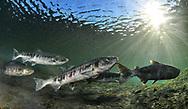 Chum Salmon<br /> <br /> Paul Vecsei/Engbretson Underwater Photography