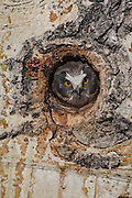 Saw-whet owl at nest cavity