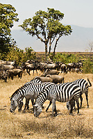 Burchell's Zebra Grazing with Wildebeest in the Ngorongoro Crater, Tanzania