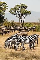 Burchell's Zebra Grazing with Wildebeest in the Ngorongoro Crater, Tanzania